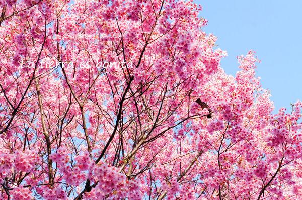 Cherryblossoms3.jpg