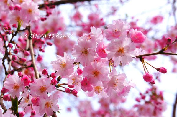 Cherryblossoms6.jpg